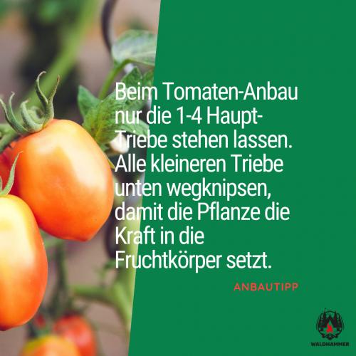 Tipps beim Tomaten Anbau