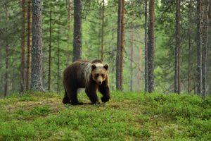 Bär,Braunbär